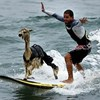 Meet Pisco, the very first surfing alpaca.
